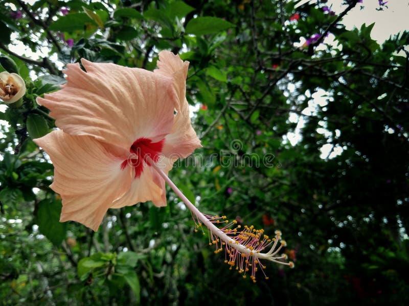 Flor de Bunga Raya imagem de stock