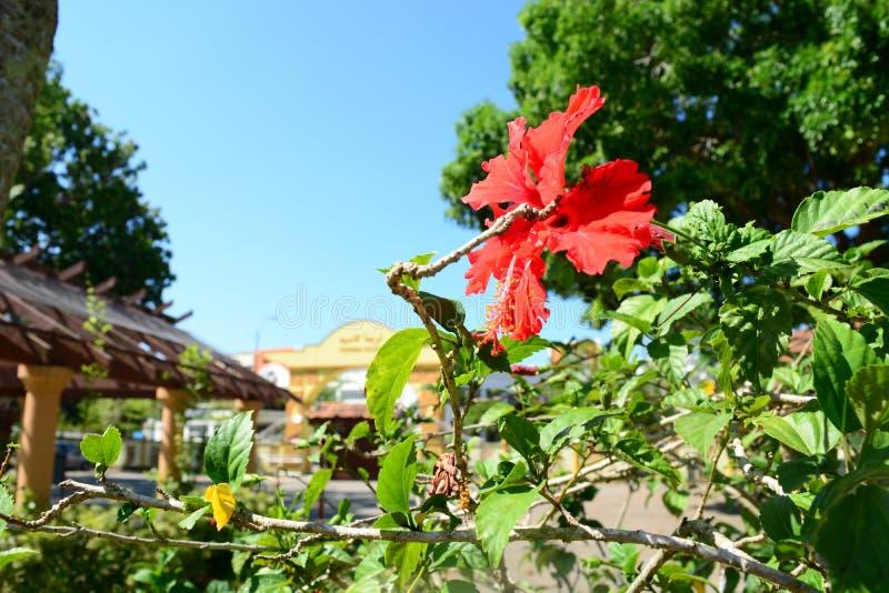 Flor de Bunga Raya no parque fotos de stock royalty free