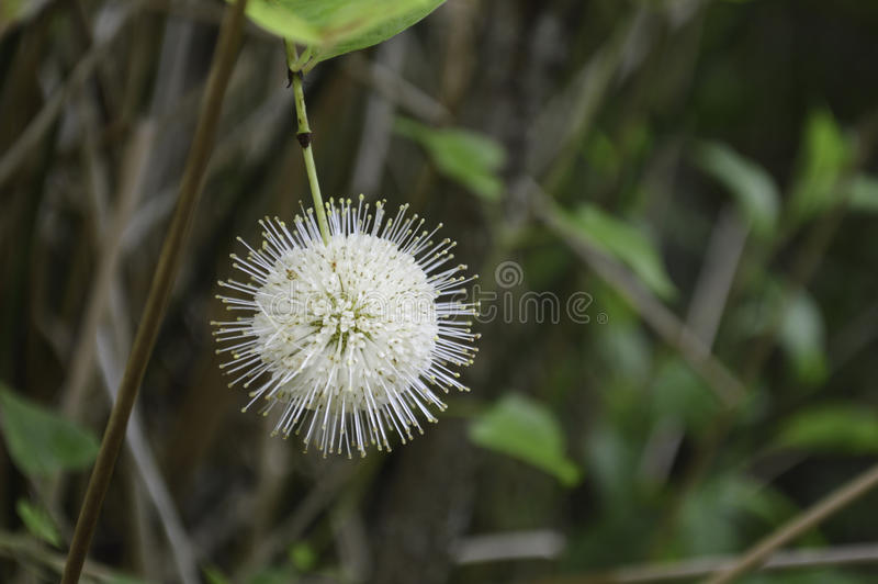 Flor de Buttonbush imagenes de archivo