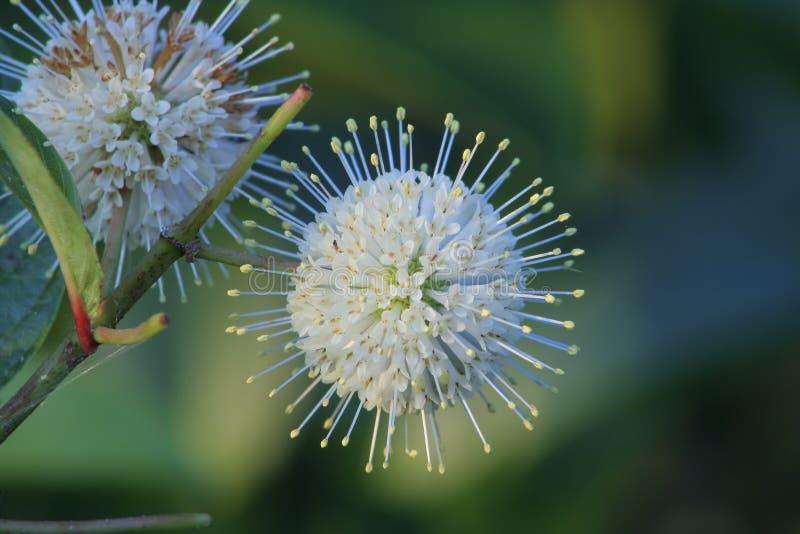 Flor de Buttonbush (occidentalis de Cephalanthus) imagens de stock royalty free