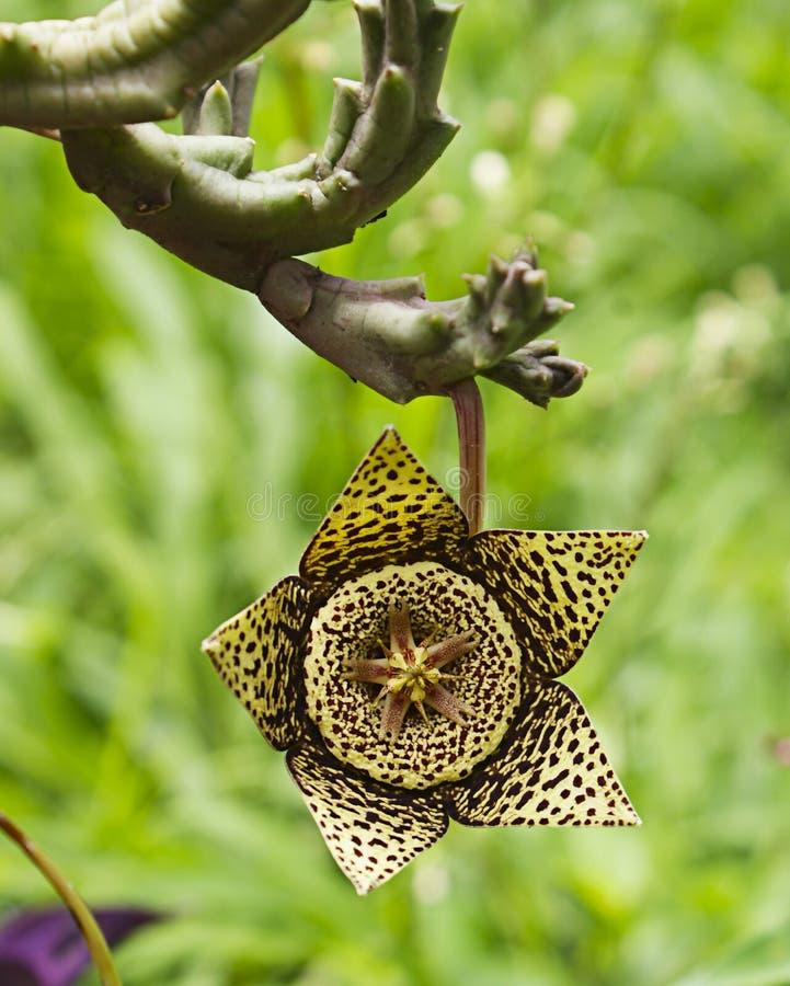 Flor DE cactus stock afbeelding