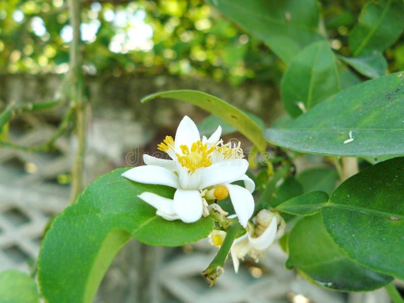 Flor de cal fotografía de archivo
