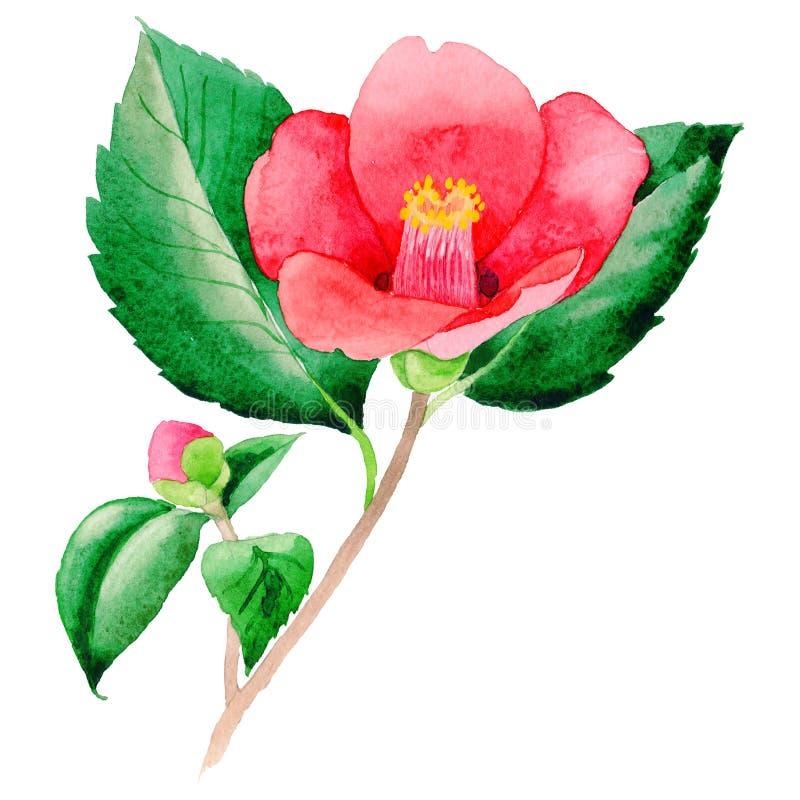 Flor de Camellia Japanese del Wildflower en un estilo de la acuarela aislada stock de ilustración