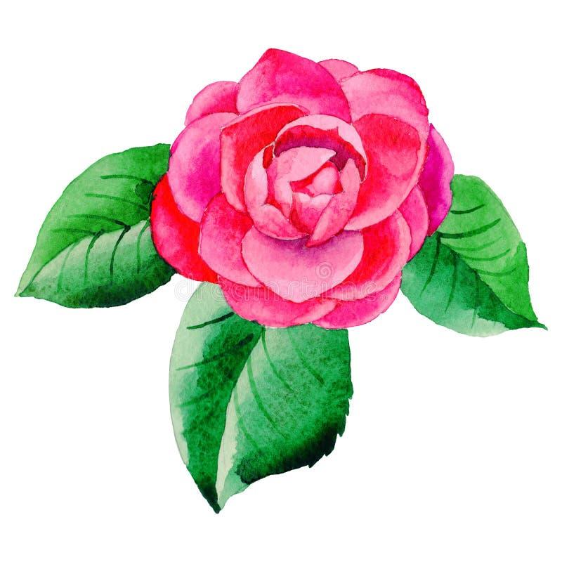 Flor de Camellia Japanese do Wildflower em um estilo da aquarela isolada ilustração do vetor