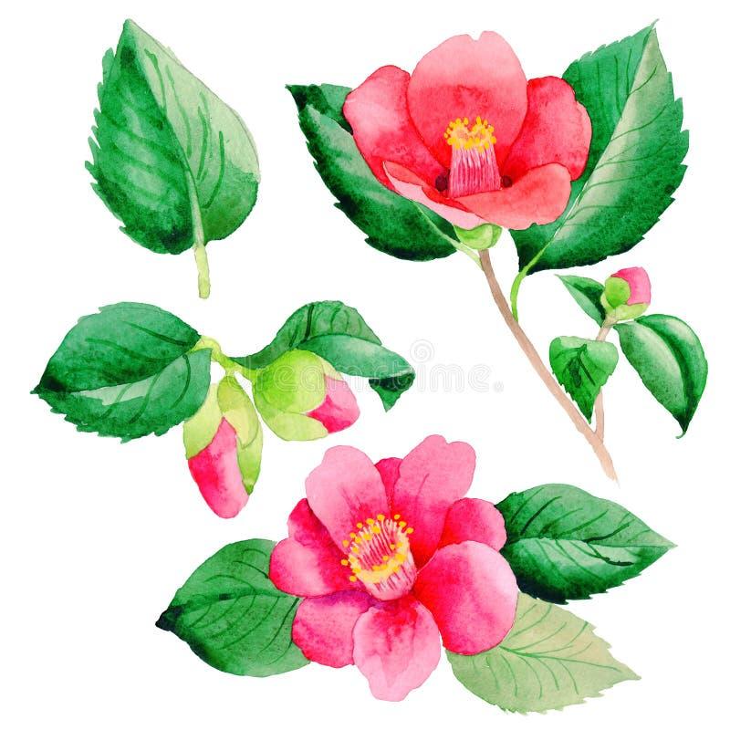 Flor de Camellia Japanese do Wildflower em um estilo da aquarela isolada ilustração royalty free