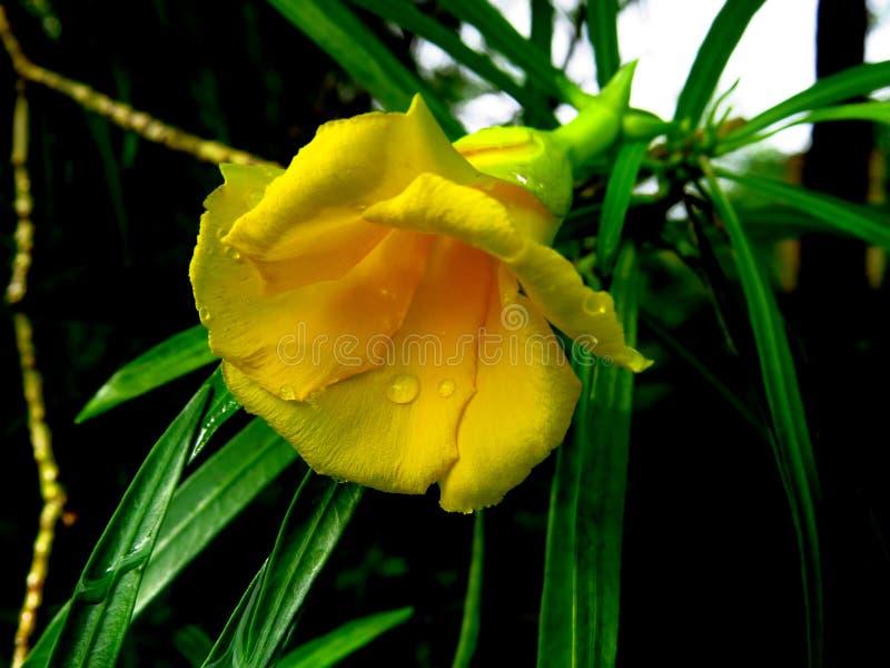 Flor de campana amarilla imágenes de archivo libres de regalías