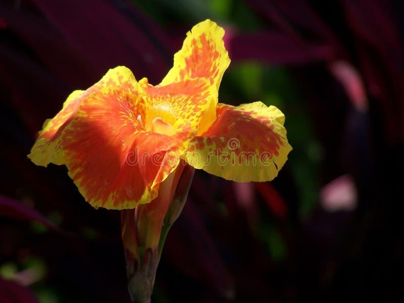 Download Flor de Canna imagem de stock. Imagem de alaranjado, alto - 100543