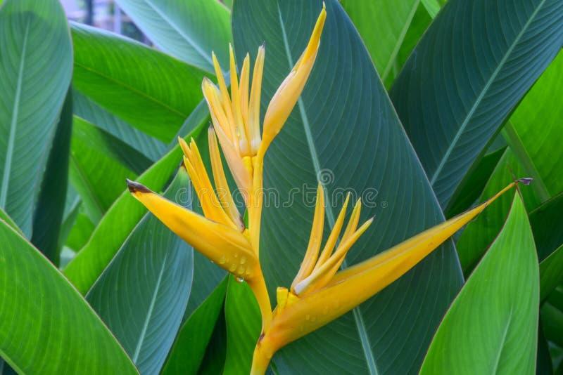 Flor de Canna foto de archivo libre de regalías