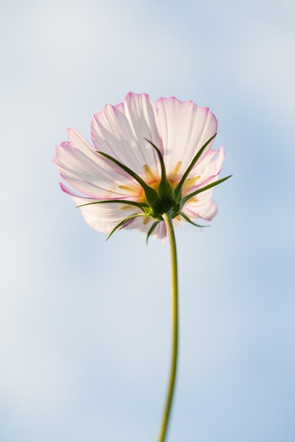 Flor de Cav del bipinnata del cosmos imagen de archivo libre de regalías