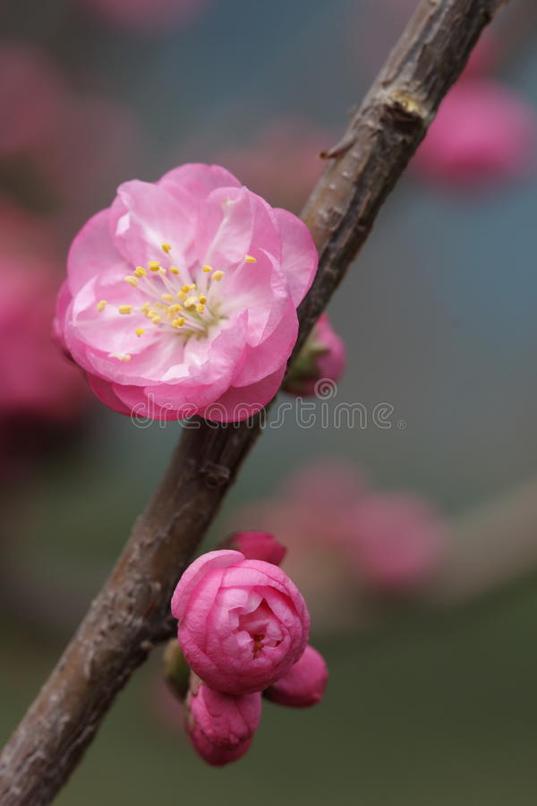 Flor de cereja imagem de stock royalty free