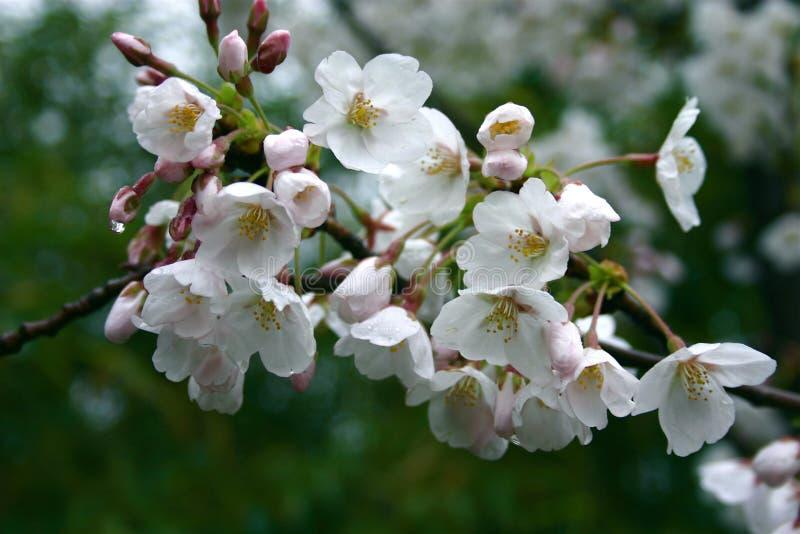 Flor de cereja foto de stock royalty free