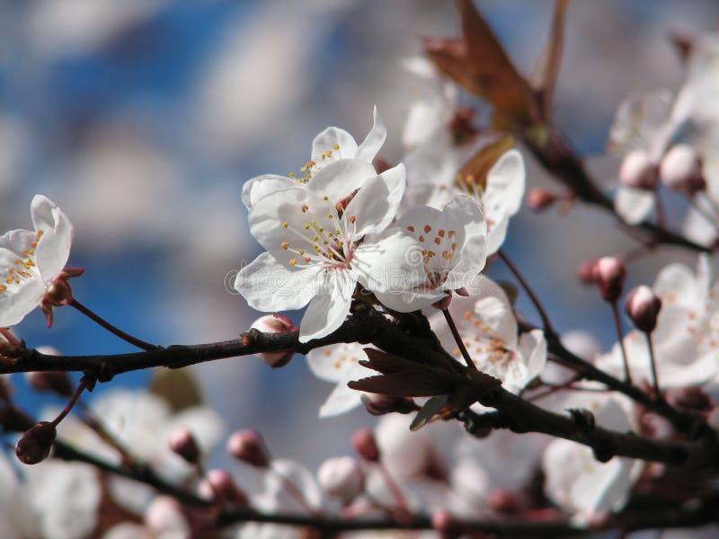 Download Flor de cereja imagem de stock. Imagem de macro, rosa, céu - 527727