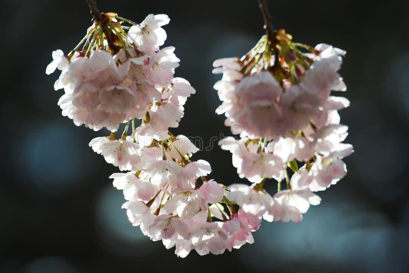 Flor de cereja imagem de stock