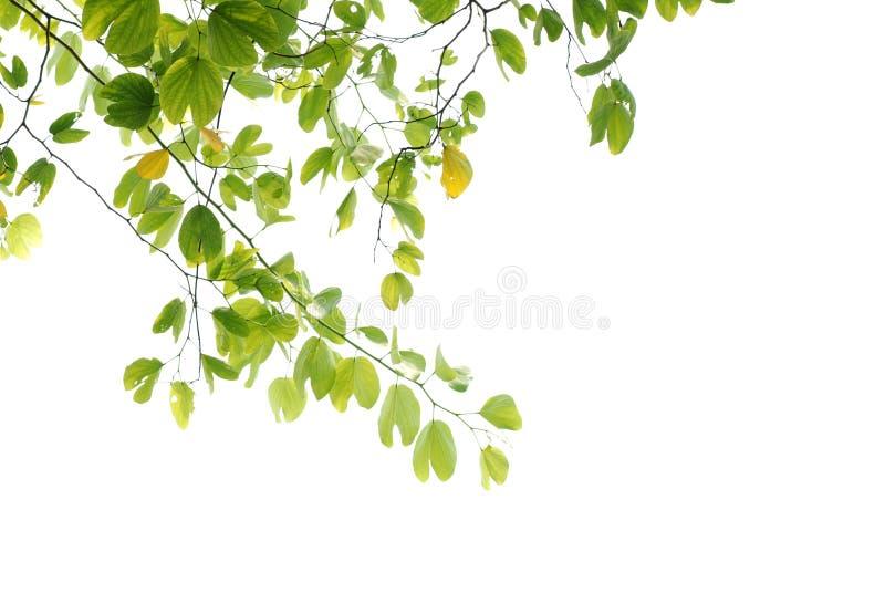 Flor de cereja asiática da natureza do verão fotos de stock
