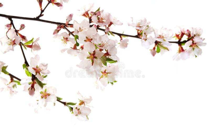 Flor de cereja cor-de-rosa foto de stock royalty free