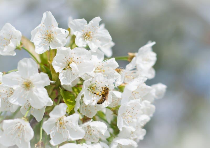 Flor de cereja da polinização das abelhas imagem de stock