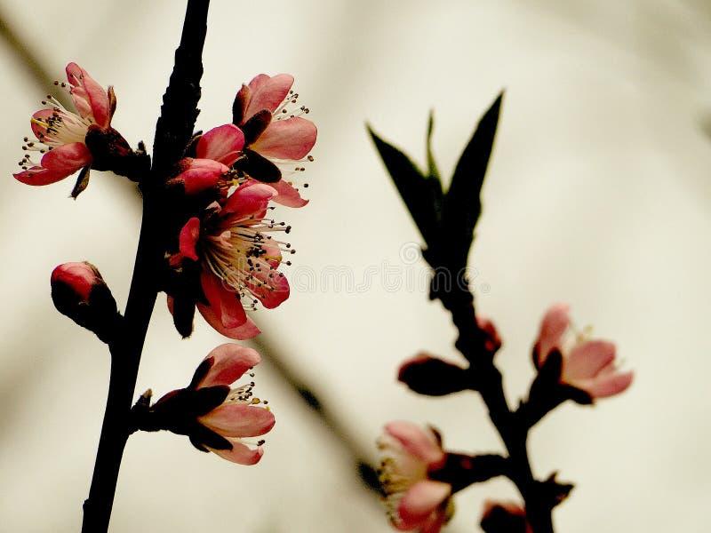 Flor de cereja em Japão foto de stock royalty free