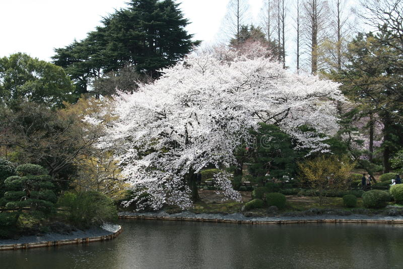 Flor de cereja japonesa de Sakura no lago imagens de stock royalty free