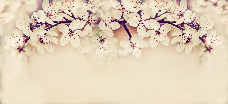 Flor de cerejeira bonita, bandeira floral da primavera fotografia de stock royalty free