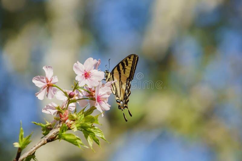 Flor de cerejeira bonita com a borboleta no Pa regional de Schabarum imagens de stock