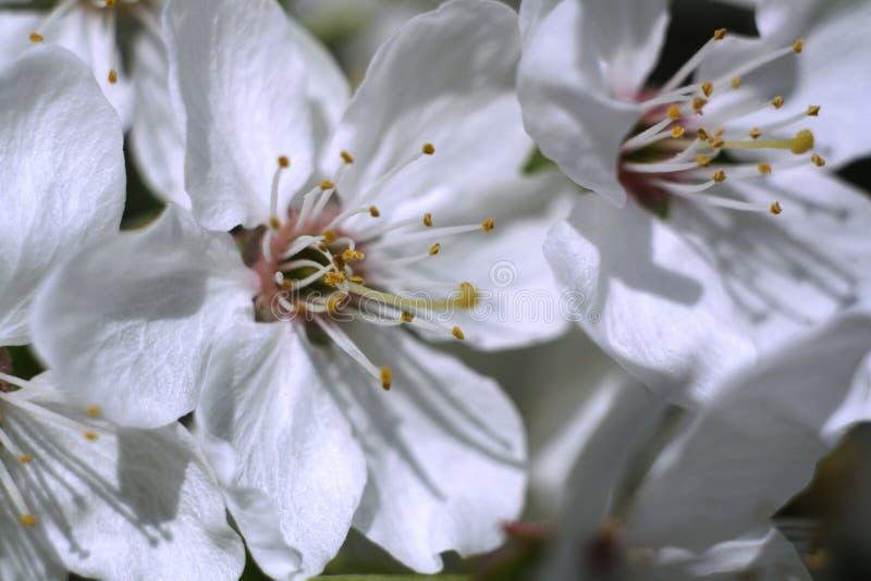 Flor de cerejeira bonita da mola fotos de stock royalty free