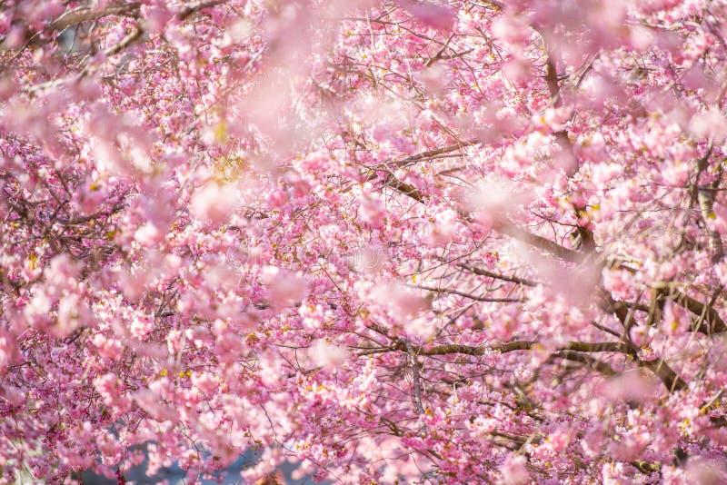 Flor de cerejeira bonita em um dia de mola ensolarado imagens de stock royalty free