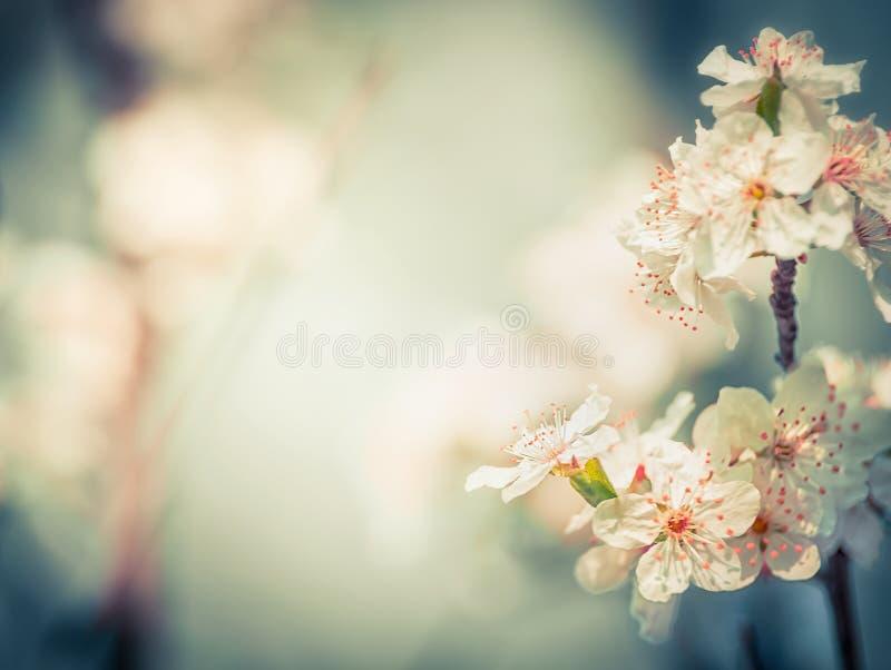 Flor de cerejeira bonita na primavera borrada exterior imagens de stock royalty free