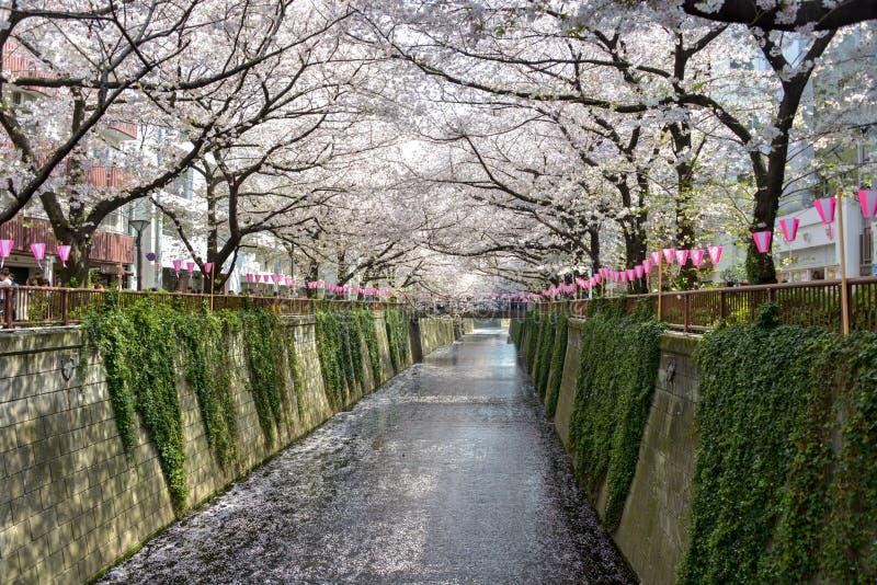 Flor de cerejeira bonita sakura do Tóquio no tempo de mola imagens de stock