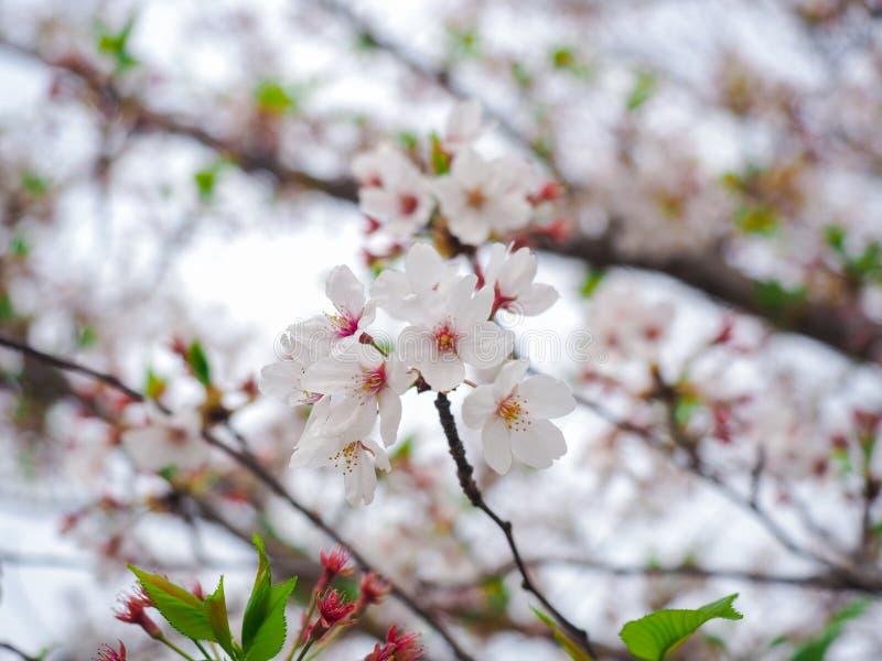 A flor de cerejeira branca do foco seletivo está florescendo na mola no fundo difundido foto de stock