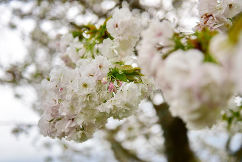 Flor de cerejeira branca durante a mola fotografia de stock royalty free