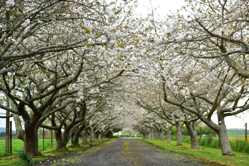 Flor de cerejeira branca durante a mola imagem de stock royalty free
