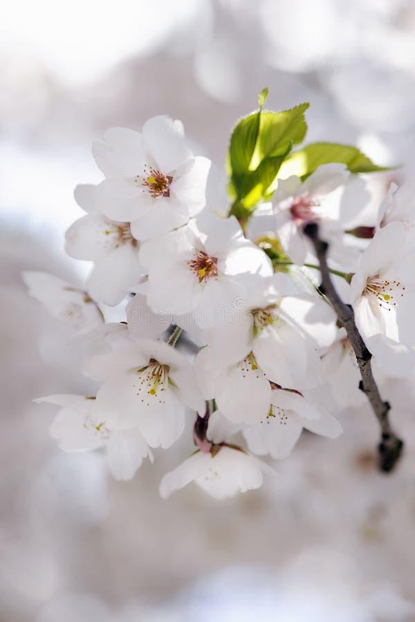 Download Flor de cerejeira japonesa foto de stock. Imagem de árvore - 29827926