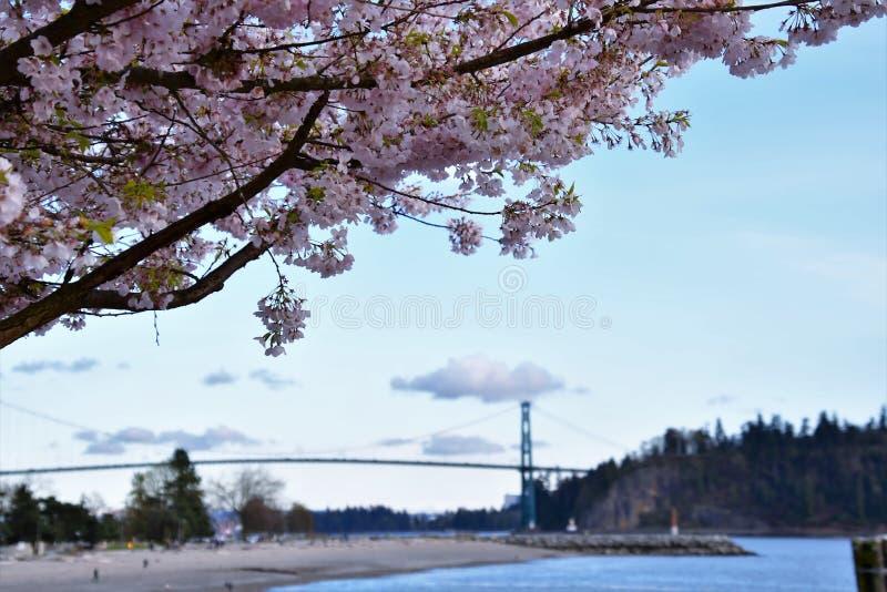 A flor de cerejeira contra a ponte da porta dos leões fotos de stock