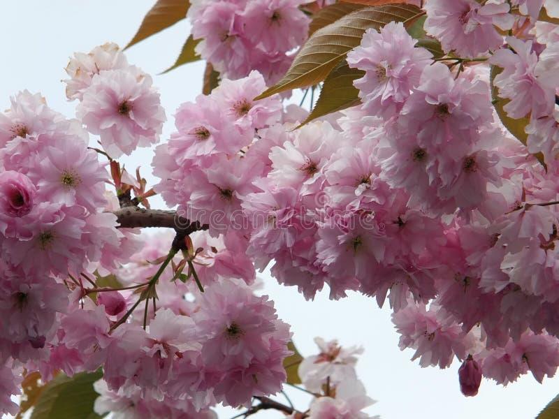Flor de cerejeira cor-de-rosa macia da mola no fim acima com folhas verdes fotos de stock royalty free