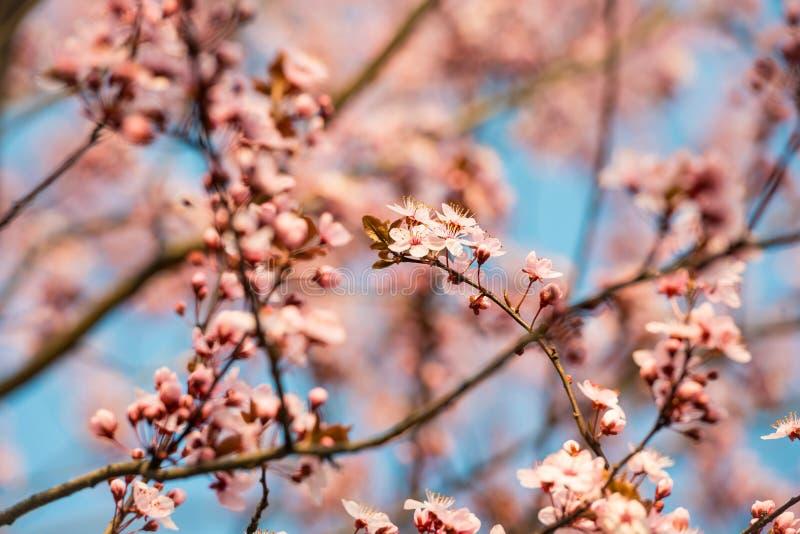 Flor de cerejeira cor-de-rosa na luz solar fotografia de stock