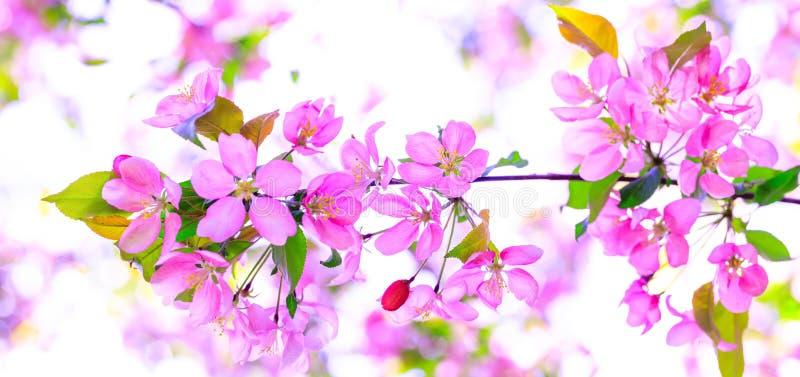 Flor de cerejeira cor-de-rosa de surpresa na árvore durante o tempo de mola Ramo das flores da maçã no dia ensolarado impressiona imagem de stock royalty free
