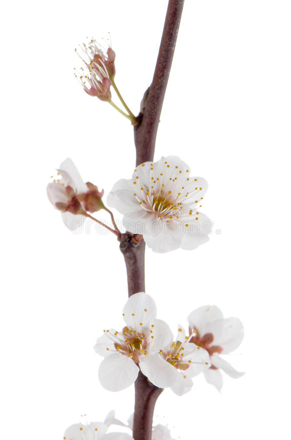 Download Flor De Cerejeira Da Mola, Close Up. Imagem de Stock - Imagem de cereja, outdoor: 29835267