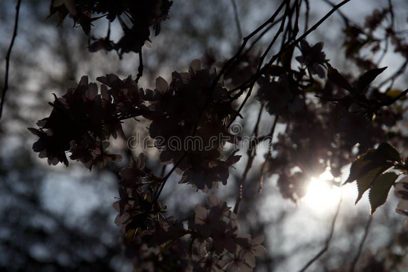 Flor de cerejeira da silhueta, retroiluminada pelo sol de nivelamento na primavera foto de stock