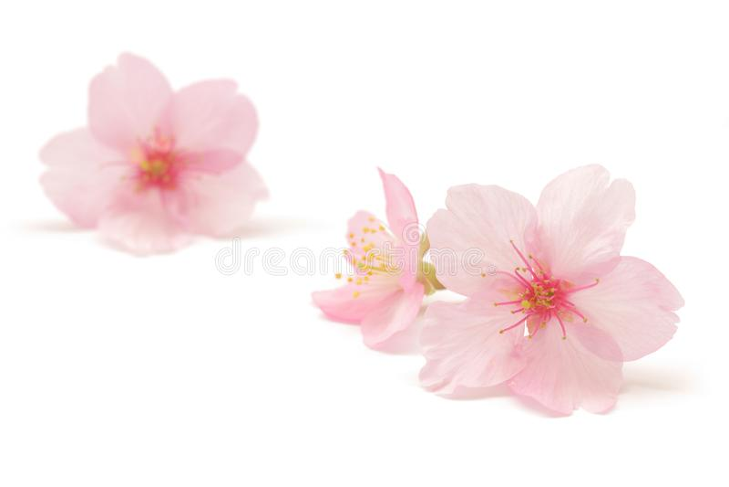Flor de cerejeira do rosa japonês isolada no fundo branco foto de stock