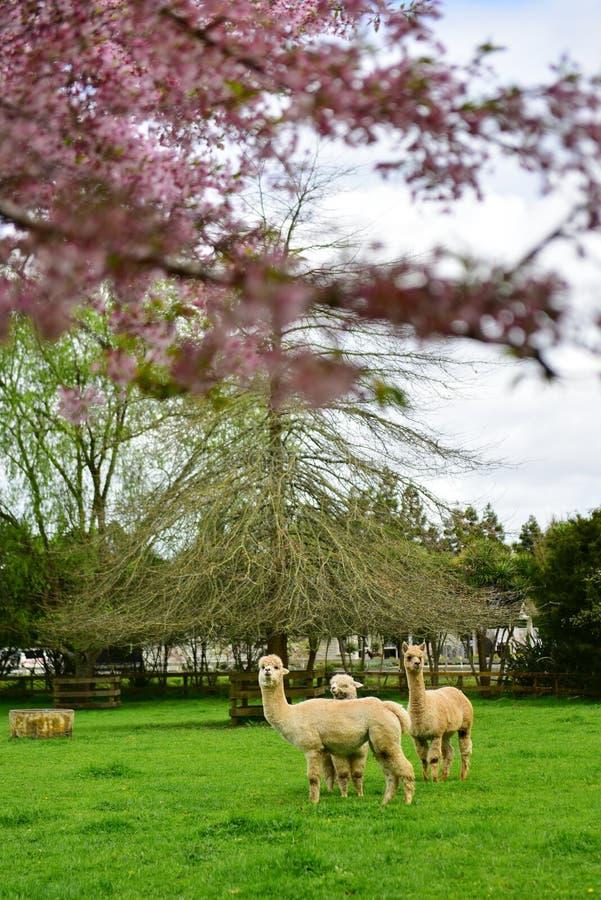 Flor de cerejeira e lamas de Sakura em um jardim em Hamilton foto de stock
