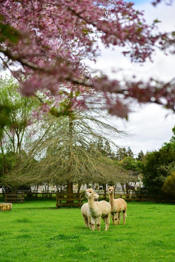 Flor de cerejeira e lamas de Sakura em um jardim em Hamilton fotografia de stock royalty free