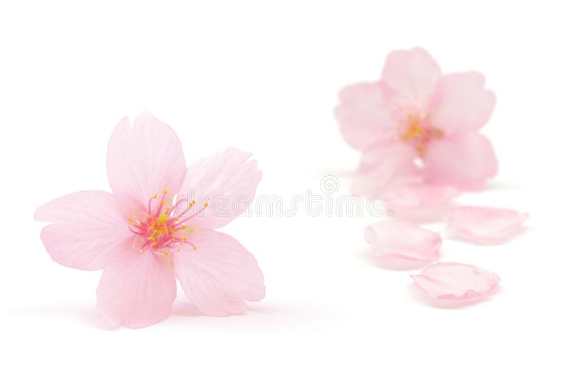 Flor de cerejeira e pétalas do rosa japonês isoladas no fundo branco fotos de stock royalty free
