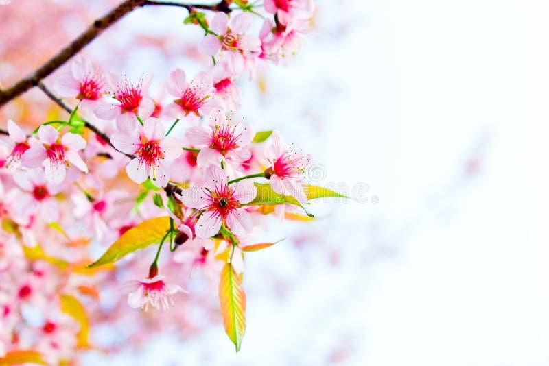 Flor de cerejeira em Chiang Mai, Tailândia fotografia de stock royalty free