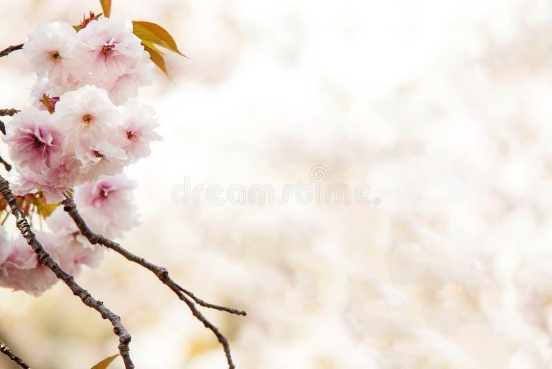 Flor de cerejeira, flores cor-de-rosa na florescência com fundo agradável fotografia de stock royalty free