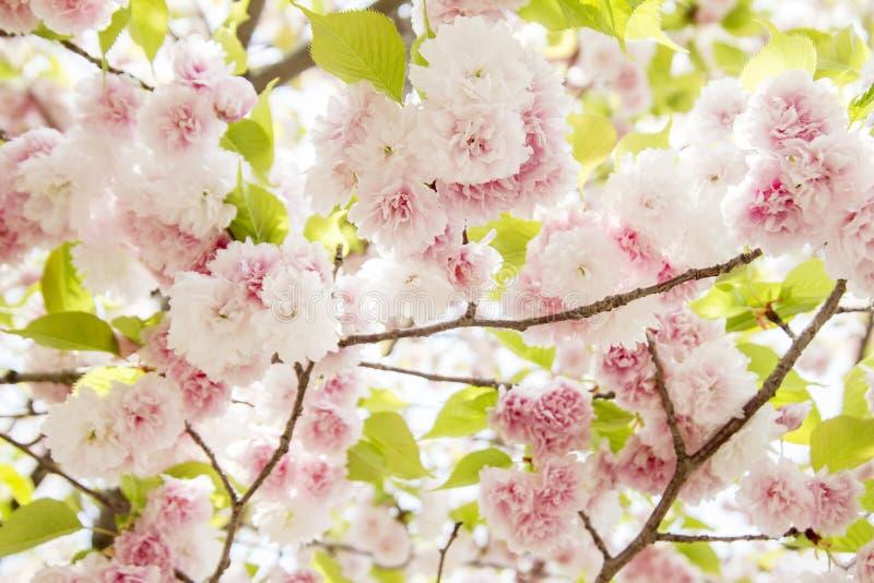 Flor de cerejeira, flores cor-de-rosa na florescência com fundo agradável foto de stock royalty free