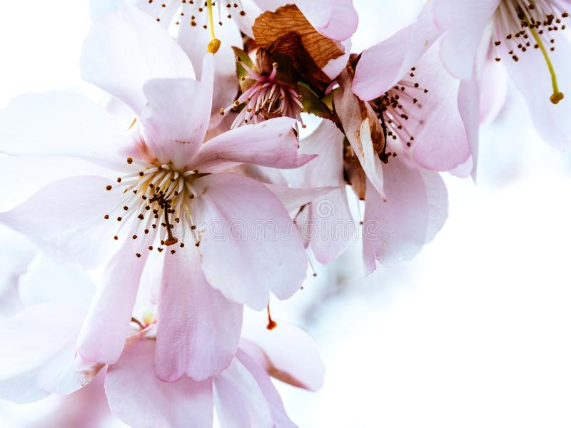Flor de cerejeira fresca de sakura no jardim foto de stock royalty free