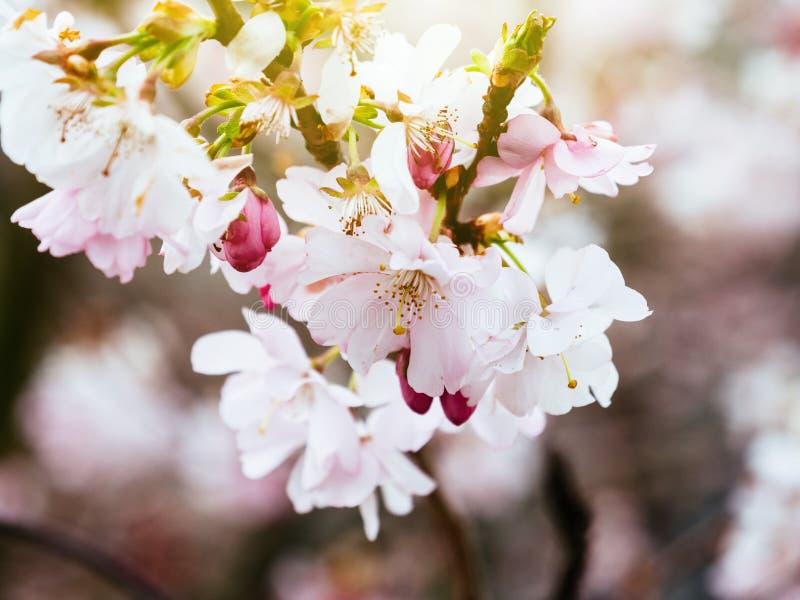 Flor de cerejeira fresca de sakura no jardim imagem de stock