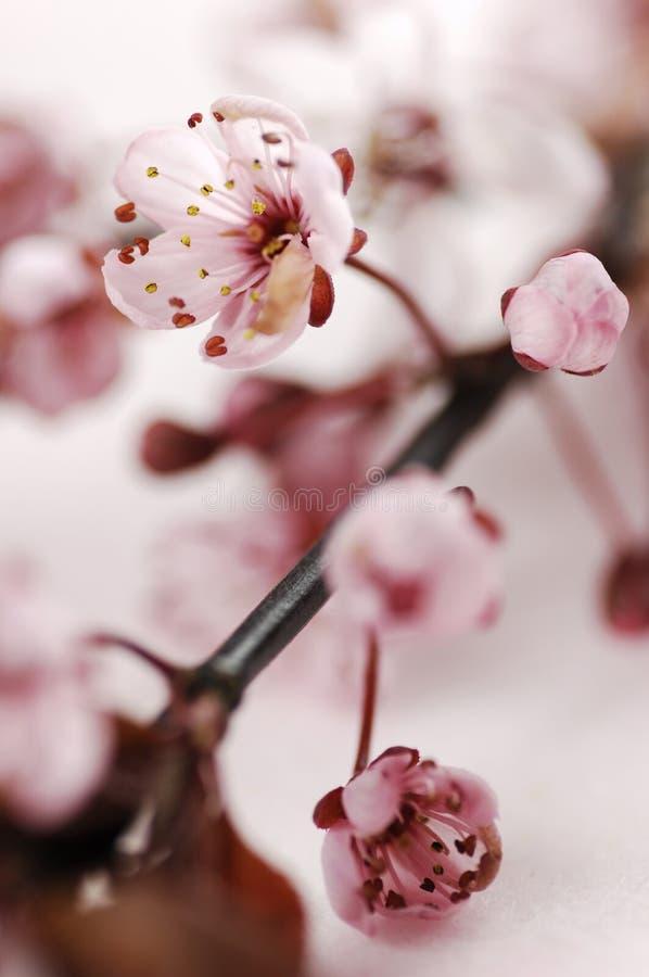 Download Flores de cerejeira foto de stock. Imagem de de, cabeça - 29829158