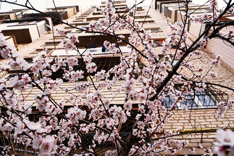 Flor de cerejeira na frente do prédio de apartamentos imagem de stock