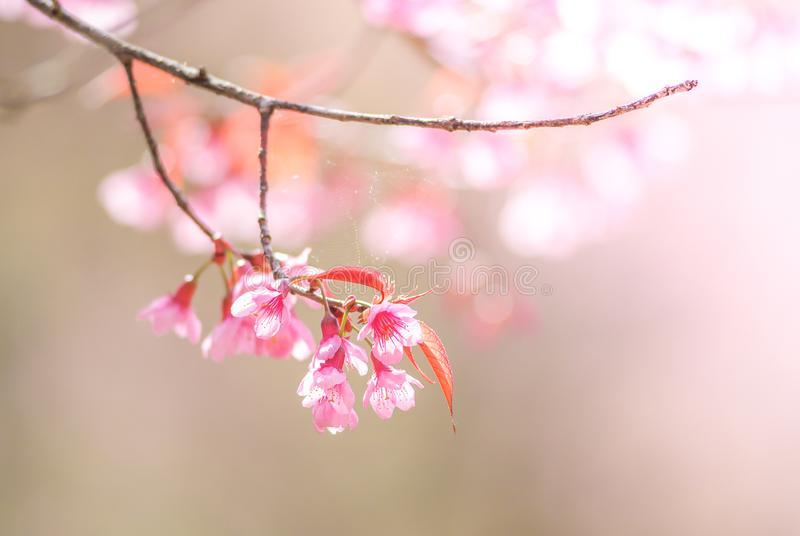 flor de cerejeira na mola imagens de stock royalty free